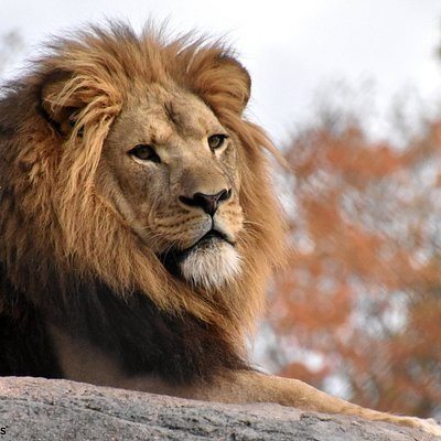 Chester - African Lion