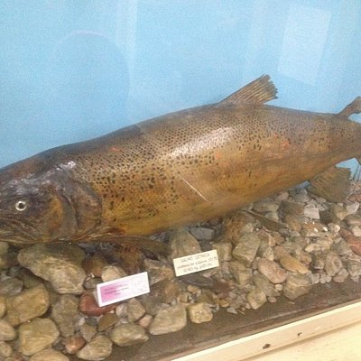 The delicious (record huge) Endemic trout.
