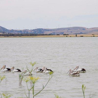 Pelicans on Lake Burrumbeet