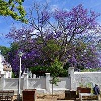 Jacaranda bomen geven de straten kleur