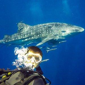 Китовая акула на Chang Wreck у острова Ко-Чанг. Дайвинг в Таиланде. Diving Koh Chang, Thailand.