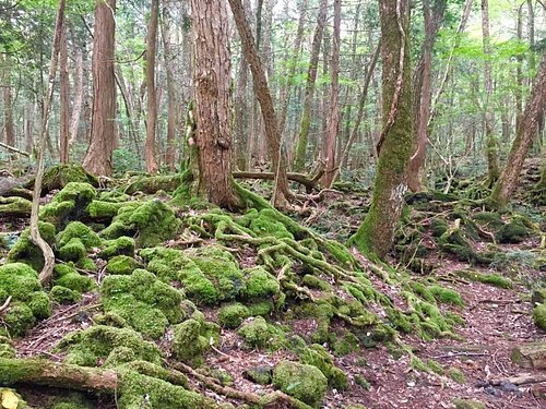 Aokigahara Forest spectacular root system