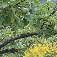The apple of San Giovanni