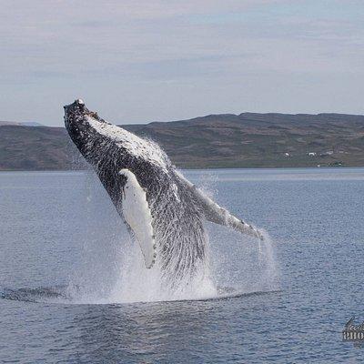 Whale Watching Hólmavík