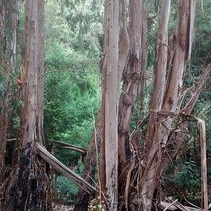 Bosque de eucalyptus.