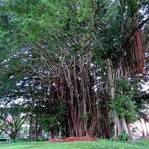 Bizarre and amazing Banyon trees