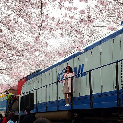 Jinhae Cherry Blossom Festival 1 Day Trip from Seoul