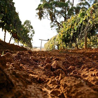 Pennyweight vineyard.