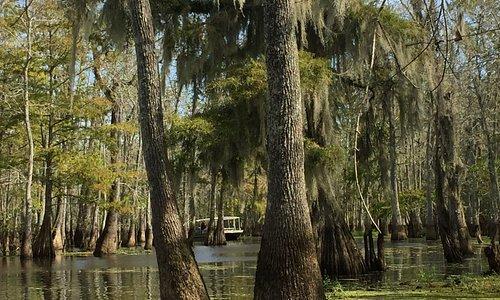 Cypress trees in Honey Island Swamp
