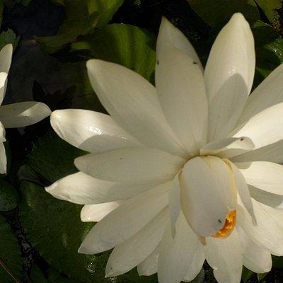 Summer Lotus.  Turner River,  Big Cypress National Preserve.