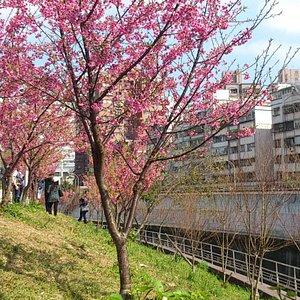 內溝溪下游樂活公園的賞櫻步道櫻花