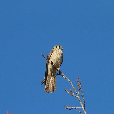 American Kestrel looking for a feed!