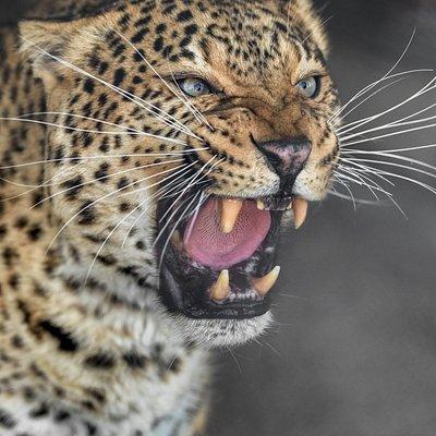 Leopard Liza