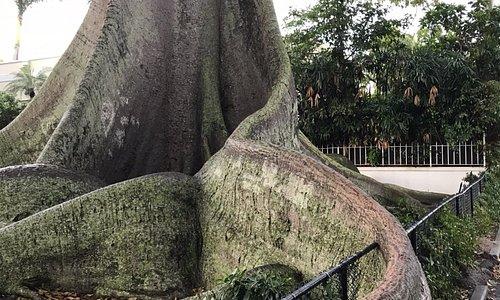 Giant Kapok Tree south of Flagler Museum