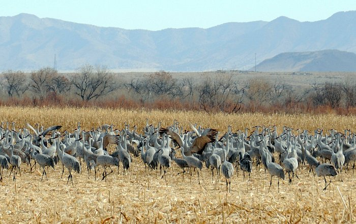From first viewing platform. Thousands of Sandhill Cranes in January.
