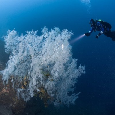 "Dive to see the famous ""Black"" Coral Trees of Milford Sound, a deepwater emergent species."