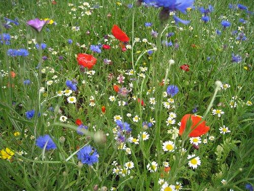 Wildflowers in Manor Farm Park