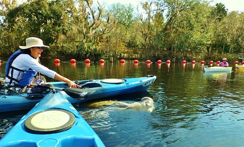 Experience the Florida manatee in it's natural environment. Orlando Kayak Tours!