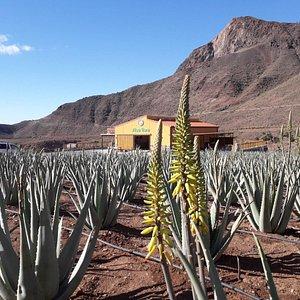 Nuestro local desde la plantación de Aloe Vera