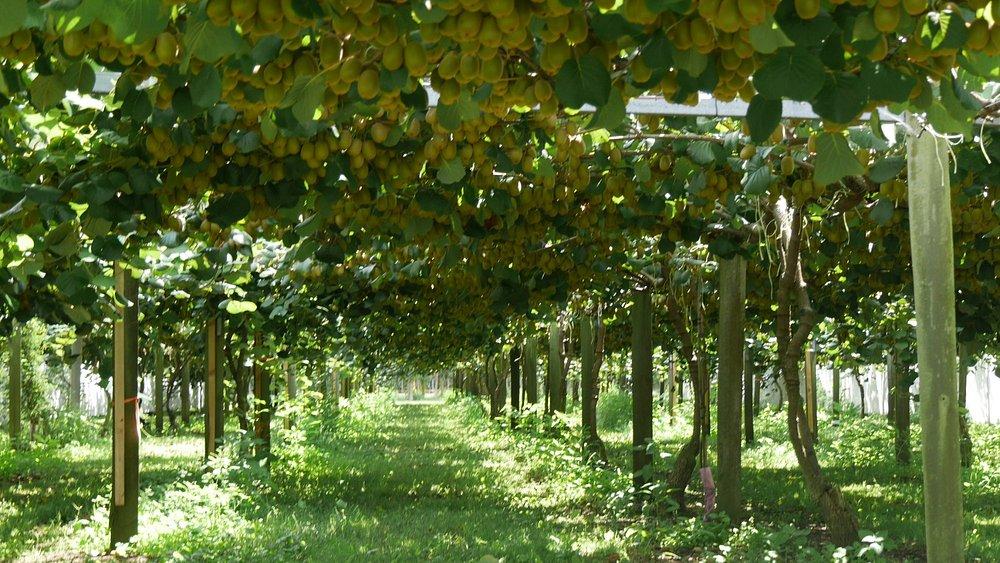 Kiwifruit orchard