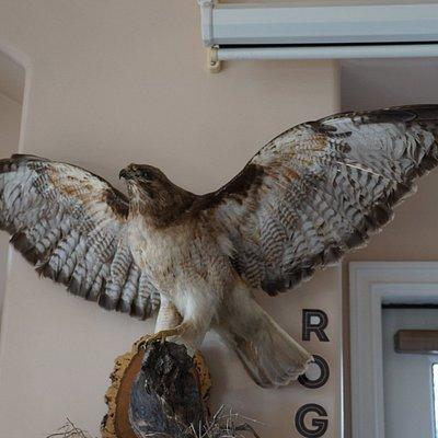 Roger the Hawk