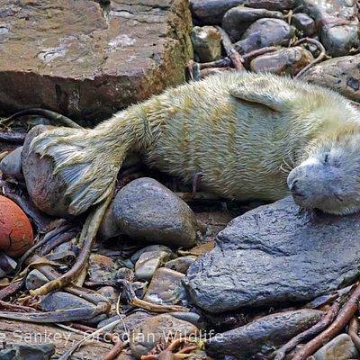 Grey Seal Pup, South Ronaldsay.