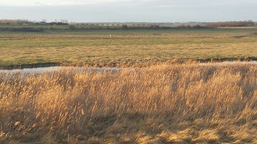 Reed beds on Isle of Harty
