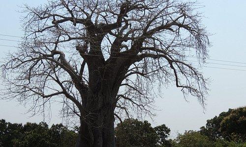 Baobá- Moçambique