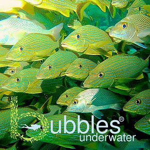yellow fishes with Bubbles underwater