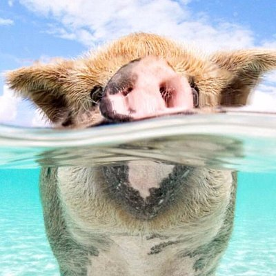 Famous swimming pigs!