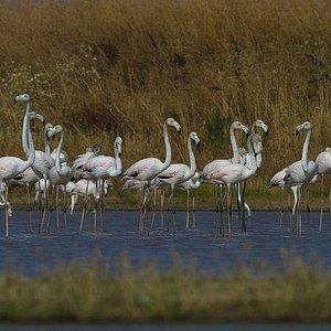 Tagus Portugal Flamingos Phoenicopterus roseus