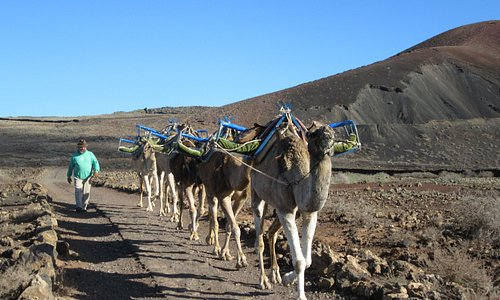 Camels on the path
