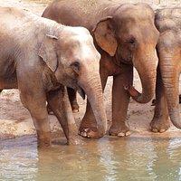 Elefantes asiáticos.