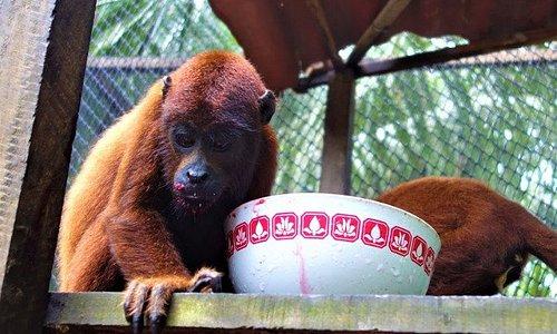 Baby Howler Monkey who drinks beetroot juice