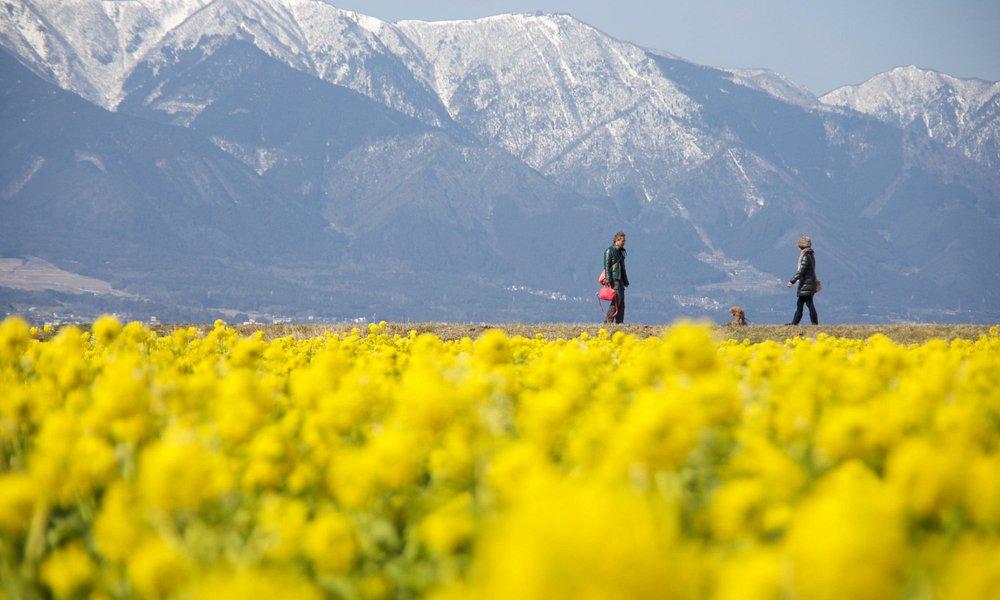 菜の花畑の向こうに比良山の雪景色