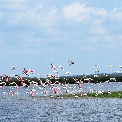Beautiful Rosette Spoonbills in flight