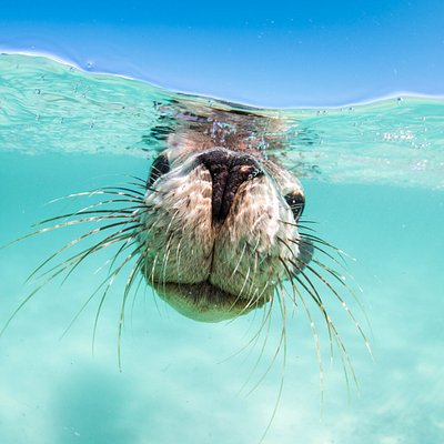 Sea Lion of Jurien Bay