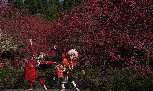 原住民來跳舞櫻花群舞