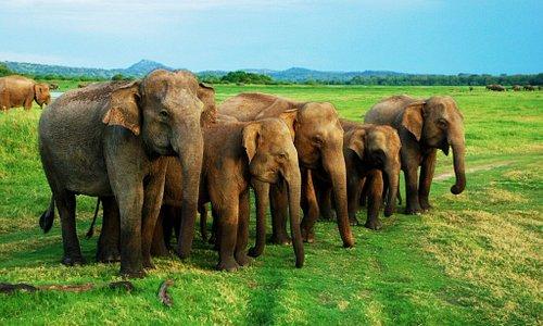 Minneriya National Park Elephants Gathering