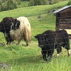 "Yaks aka ""Hippy Cows"""