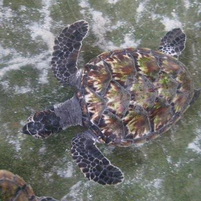Older Turtle