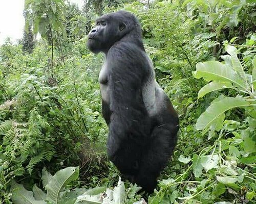 a full grown Silverback Mountain Gorilla in Bwindi Impenetrable Forest National Park