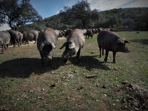 Visiting 700 hectare estate rearing pure bred 100% Iberian Pigs