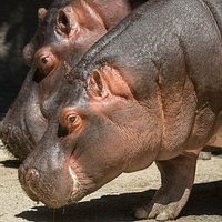 Behind-the-scenes Hippo Encounter