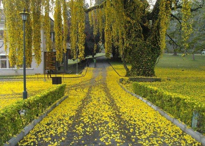 one a year you can see in peradeniya university garden