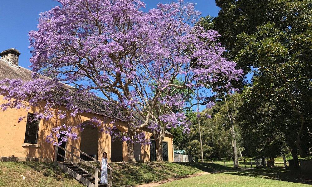 Jacaranda in full bloom