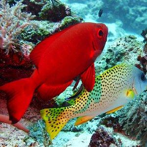 Scuba diving in Zanzibar (Unguja Island) · Bigeye and black spotted sweetlip at the dive site Mnemba