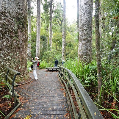 True forest giants are the kauri