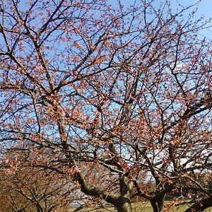 河津桜は三分咲きでした