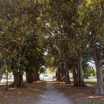 Morton Bay Fig Avenue